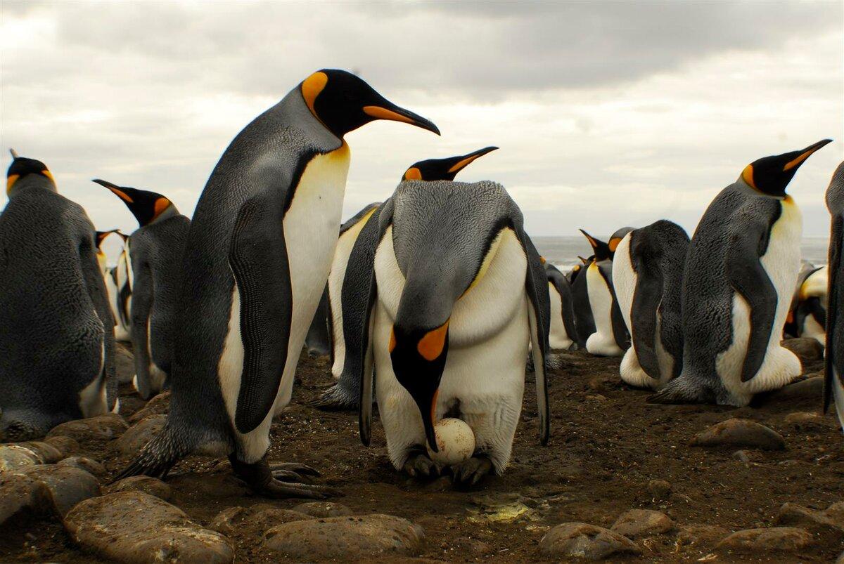 Королевские пингвины фото
